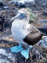 blue_footed