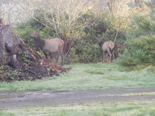 elk in your yard