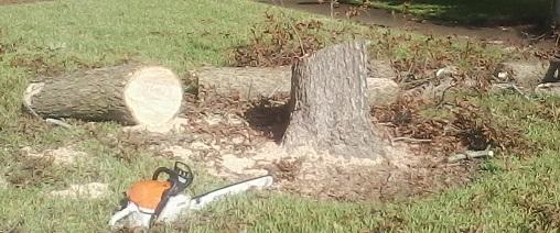 Pecan tree stump